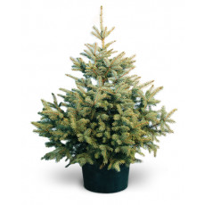 Potted christmas tree with delivery in Latvia