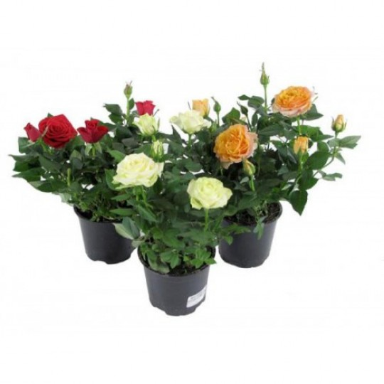Potted rose 1 pcs